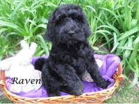 Check out our beautiful, litter of Doubledoodles We