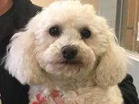 Adorable little 4 yr old neutered poodle looking for a
