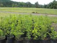 These are very healthy. They can be transplanted or