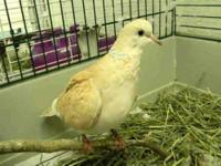 Dove - Delight - Small - Adult - Bird CHARACTERISTICS: