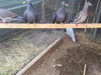 Hi all I have a pair of s/s African olive pigeons 650