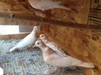 I am selling my 7 doves need to rehome them due to