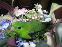 I have 4 three month old White Eared Conures. A small
