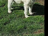 Downy's story Downy is a 7-8 year old senior Schnauzer