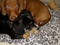I have Doxie Puppies that will be available December