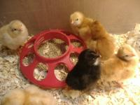 I am selling a dozen of fertile, mixed chicken hatching