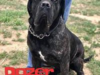 Dozer's story Dozer is a 1 year old, male, Cane Corso