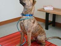 Dozer's story Approx 8 month old Mountain Cur