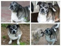 Dozer, aka Captain D is an 8 year old Pug Mix. Dozer is