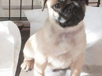 Dozer, precious and handsome fawn male pug. he comes