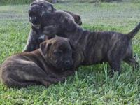 Registered American Bandogge Mastiff puppies. Born