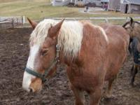 Draft - Cami - Extra Large - Adult - Female - Horse