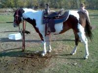 12yr old mare. This girl is big. She is well broke but
