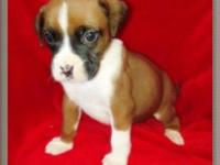 Meet Drake. He is a handsome male boxer puppy with a