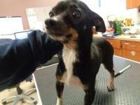Drake is a 3 year old male chihuahua who was brought