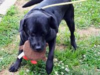 My story DRAKE is a 3-year-old neutered male black lab.