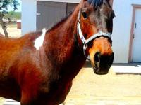 DREAMY is a.Tobiano Bay Paint Quarter Horse mare 10