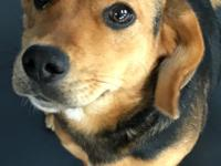 Drina is a Beagle mix with an estimated birth of