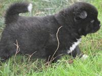 sdsddsdsds We are offering you healthy Akita puppies ,