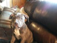 Female Blue American Bully. 11 Weeks old, 2 sets of