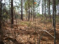 The Scotland Pines Tract is a nice 101+/- acre