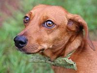 Duck's story Name: Duck Breed: Dachshund Age: 3-4 Years