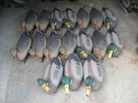 1 dozen Carrylite Wigeon w/o anchors $25 1 dozen
