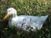 Duck - Eesa & Taahn - Medium - Adult - Male - Bird Eesa