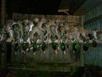 I am leasing a duck hunting pit in Turrell Arkansas on