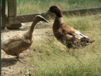 Duck - Marvin & Bee - Medium - Adult - Male - Bird