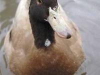 Duck - Poseidon - Medium - Adult - Male - Bird Neptune