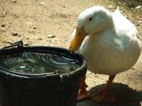 Duck - Rilo & Ranger - Large - Adult - Male - Bird Rilo