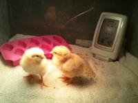 I have ducklings and chicks of all ages. Khaki