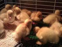 Pekins Ducks For Sale 5.00 Each Call  // //]]>