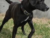 Ducky (#355619) is a 1 year old black Labrador