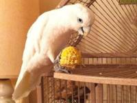Hi I have an 18 month old ducorps cockatoo that is