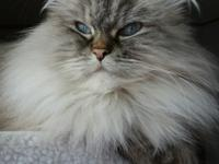Dude is a regal Himalayan/Persian mix. He is a adult at