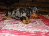 He is a gorgeous little black and tan dapple male