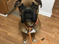 Dudley is the definition of boxer! Playful, cuddly and
