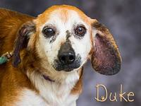 Duke's story Poor Duke is a 9 year old beagle that was