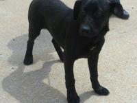 Duke is a 6 mo old 38 lb Lab mix. He is super sweet and