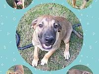 DUKE's story Duke is a Lab/Anatolian Shepherd mix (our
