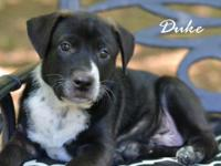 The mother of Duke is a petite 40 lb pit mix. She has a