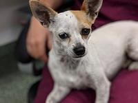 Dulce's story Dulce is an exquisite little chihuahua