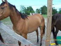 3 year old dun mare for sale $150.00 or trade for 3