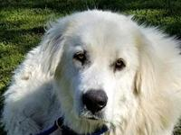 DUNCAN's story Duncan is a very large Great Pyrenees