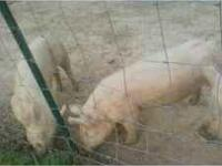 I have Duroc pigs and Yorkshire pigs for sale $100