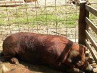 full blooded 1+year old duroc breeding boar. asking