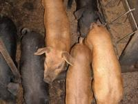 We have two litters of mostly Duroc cross piglets for