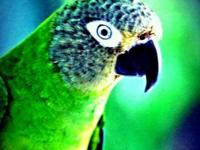 Two dusky conures for sale, gender unidentified, wild,